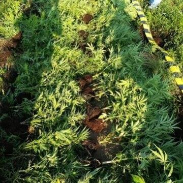 VIDEO – DESCINDERI: Cultivau cannabis pe marginea unui râu! CE cantitate au găsit polițiștii asupra bistrițeanului și a celor trei dejeni