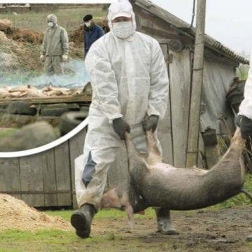 NOU caz de pestă porcină, la granița județului! Autoritățile, speriate!