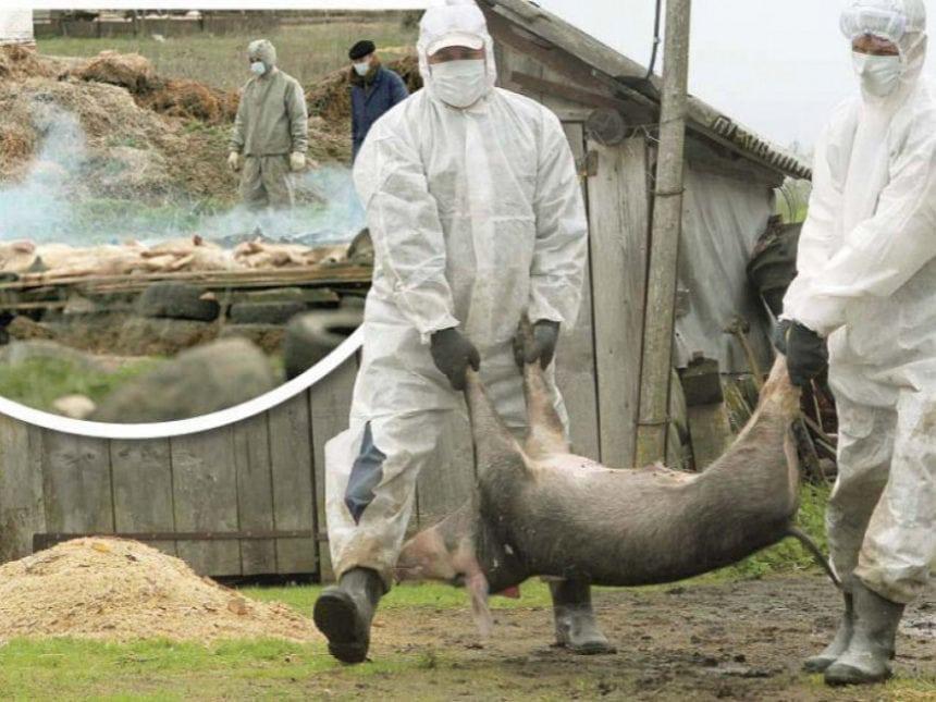 Pestă porcină la porci domestici, în Nușeni!