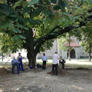 FOTO – Se poate și fără drujbă! Ce soluție a găsit Primăria Bistrița pentru castanul care și-a pierdut crengile