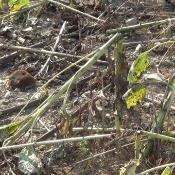 FOTO – Pericolul din pădure! Un bistrițean rămâne fără culturi pentru al cincilea an consecutiv, din cauza mistreților