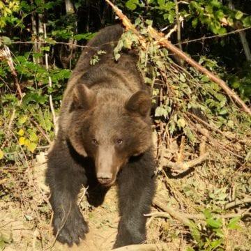 VIDEO – La primele ore ale dimineții, o familie din Prundu Bârgăului a avut parte de spaima vieții! S-a trezit cu ursul în față