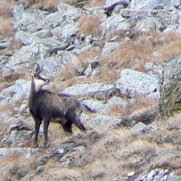 Efectele braconajului: Doar o capră neagră în plus în munți, într-un an de zile!