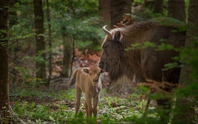 Studii. Documente. Mărturii extraordinare despre bistrițenii care ieșeau la vânătoare de zimbri…!