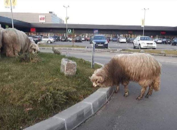 Rostul de dimineaţă: Cu oile, la Mall…!