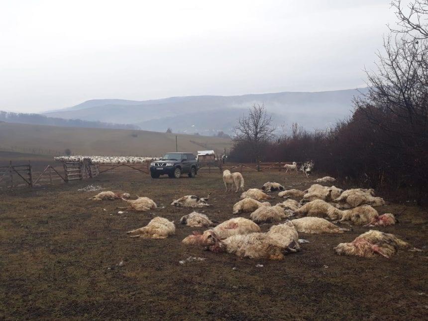 FOTO – Zeci de oi sfârtecate de trei urși la Petriș. Luna trecută un cioban de la aceeași stână a fost atacat de urs