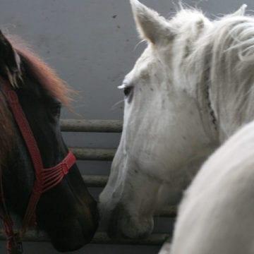 8 cai… frumoși fără acte, găsiți la socialele din Viișoara. Un tânăr a bătut sute de kilometri cu animalele după el