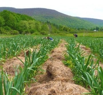 Ne apucăm de cultivat usturoi?! Ministerul Agriculturii ne încurajează cu mii de euro