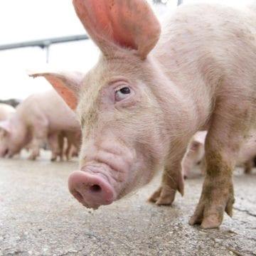 GHINION! A rămas fără porcii ce trebuiau să-i aducă un venit în plus și s-a ales și cu o amendă