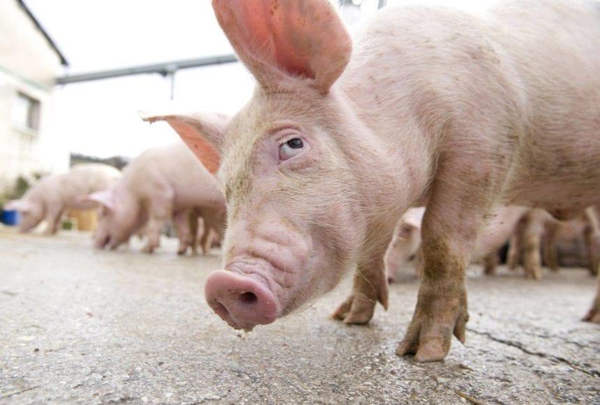 Liber la comerțul cu porci! Pesta porcină nu pune piedici!