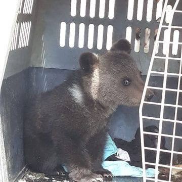 Un ursuleț orfan găsit pe Bârgaie, dus la un centru de reabilitare