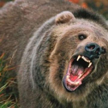 VIDEO – O familie de urși terorizează o comună întreagă de mai bine de o săptămână. Localnicii fac de pază cu rândul