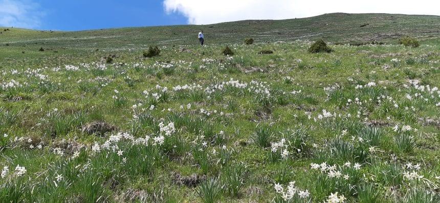 FOTO/VIDEO: S-a așternut stratul alb și frumos mirositor de narcise din Munții Rodnei