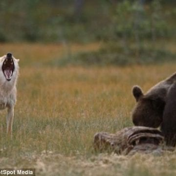 VIDEO – Cu ce soluție vine ministrul mediului pentru ca urșii și lupii să nu mai facă pagube în sate: