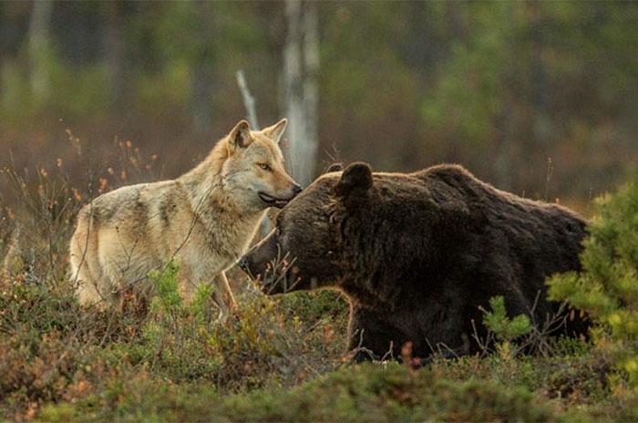 VIDEO: Pe Țibleș, Raiul pe Pământ: Ursul și lupul se joacă-mpreună!