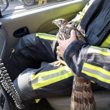 Voluntarii SVSU au salvat un șoim rănit și înfometat