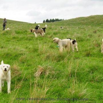 Turiștii din Munții Rodnei, în pericol din cauza câinilor! Stânele, luate la puricat!