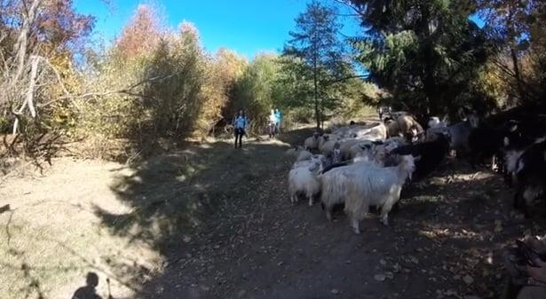 Rostul de dimineaţă. Fantastic: Cum îşi alungă plictiseala un cioban, în Munţii Bârgăului…!
