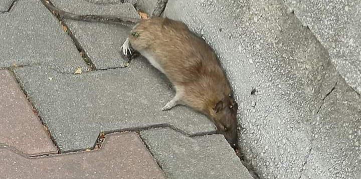 VIDEO: Șobolan mort sub privirile trecătorilor pe o stradă intens circulată din Bistrița
