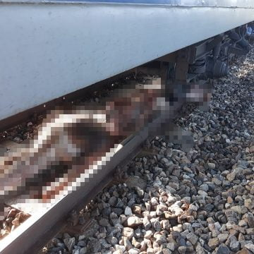 FOTO – Accident mortal: Vineri, 13…vaci lovite de tren!