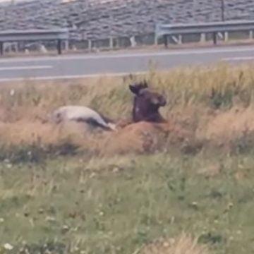 VIDEO ȘOCANT: Un cal și un măgar, în agonie pe marginea drumului, în Pasul Tihuța!