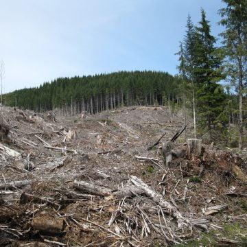 ZVONOTECĂ: S-a furat ditai pădurea între Sângeorz-Băi și Maieru! Au rămas doar cioatele, vreo 8000…