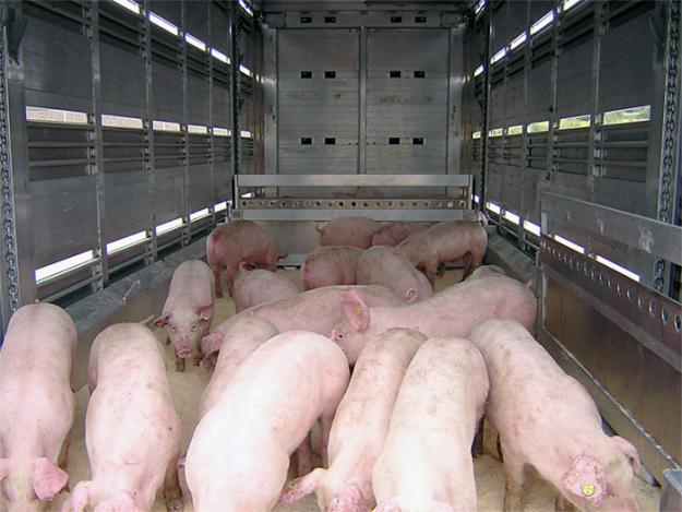 IN-CON-ȘTI-EN-ȚĂ: Transporta porci fără documente de proveniență!