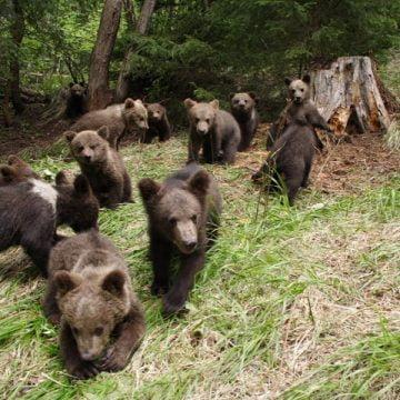 ÎNGRIJORĂTOR! Avem cu 500 de urși mai mult decât ar fi normal! Cum s-a ajuns aici: