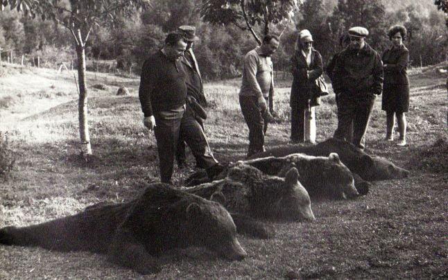 Cum a ajuns zona Dealul Negru să aibă cea mai mare comasare de urși din Europa. Rolul jucat de sași