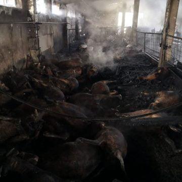 FOTO: O fermă de miei, cuprinsă de flăcări! Peste 100 de animale au murit!