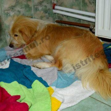 FOTO: Roșcovan, câinele bătut crunt în Târlișua, pleacă în Germania!