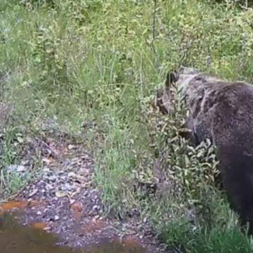 VIDEO – SPECTACULOS: Un urs uriaș surprins în Munții Rodnei!