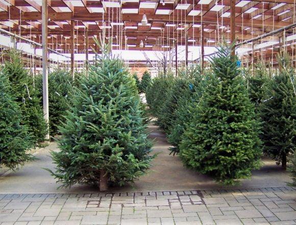 CÂT vă costă pomul de Crăciun de la Romsilva: