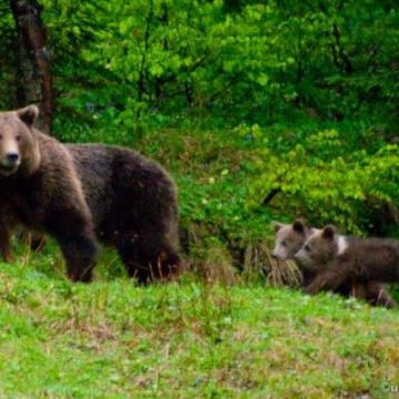 VIDEO – Văcarul din Posmuș, atacat de o ursoaică!
