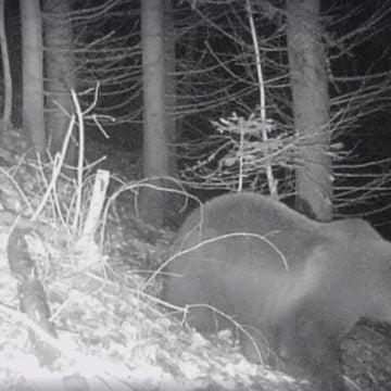 VIDEO: Moș Martin din Munții Rodnei se pregătește de hibernare