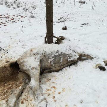 FOTO Încă un cal, folosit ca momeală, și mistreți ținuți captivi, pe un fond de vânătoare din comuna Romuli