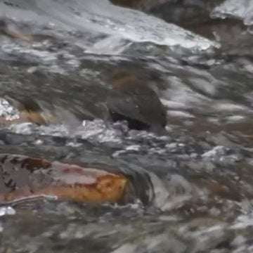 VIDEO: Simbol al frumuseții surprins în apele înghețate din Munții Rodnei