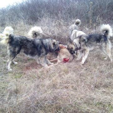 Polițiștii au aflat CINE a filmat scena în care un câine era sfâșiat de viu la o stână