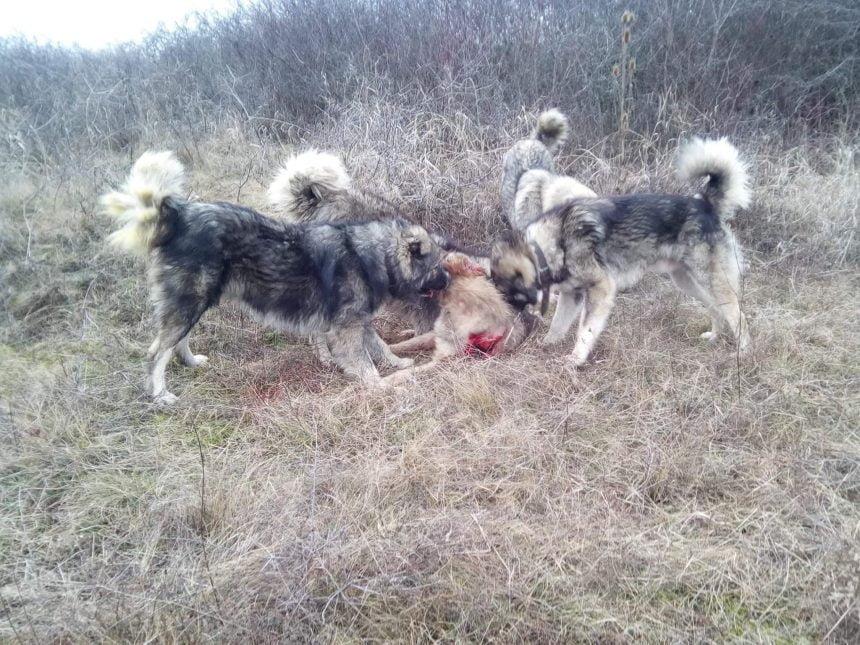 Poliția a intrat pe fir în cazul câinelui omorât de ciobănești! Minorul s-a ales cu dosar penal