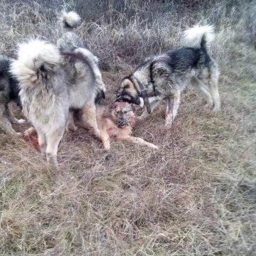 FOTO/VIDEO: CRUZIME fără margini! Câine sfâșiat de viu de carpatini, distracția macabră a unor tineri ciobani