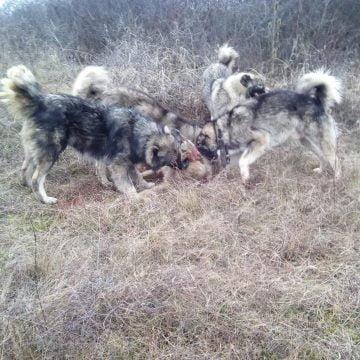 Deși au găsit cadavrul câinelui sfâșiat, Poliția animalelor nu face nimic! A lăsat ancheta pe umerii polițiștilor IPJ BN