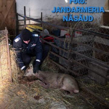 Pui de căprioară, atacat de un câine agresiv. Un medic veterinar i-a acordat îngrijiri medicale
