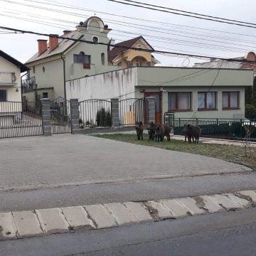 BISTRIȚA:  Mistreți, în plină stradă…?!?