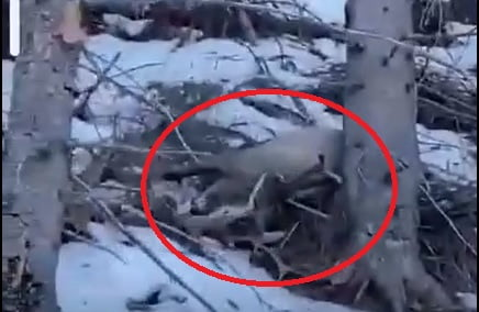 VIDEO: Polițiștii bistrițeni caută niște braconieri, după un filmuleț în care apar doi cerbi împușcați