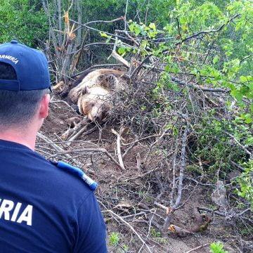VIDEO: Ursoaică prinsă într-un gard, salvată de jandarmi
