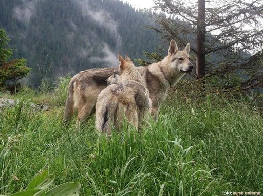 FOTO: Lupii fac prăpăd pe Valea Ilvelor! Au omorât zeci de animale