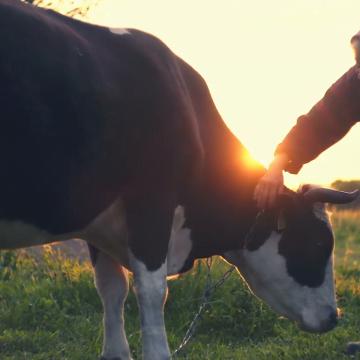 Lovită de vaca pe care o ducea la pășunat! Cercetat pentru incident… un șofer!