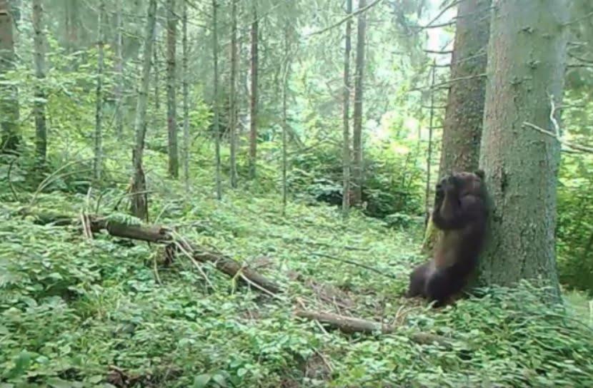 """VIDEO Spectacol în Parcul Național Călimani: Ce soluție a găsit un ursuleț """"chinuit"""" de mâncărimi"""