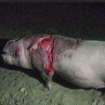 FOTO- Mureșenii Bârgăului: URSUL ar fi omorât trei porci și a rănit alți doi