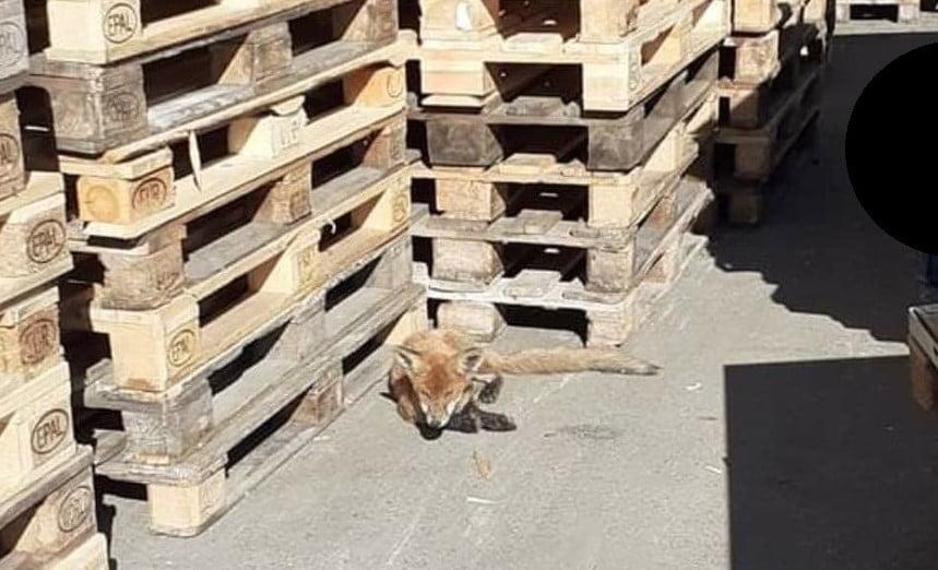 """Vulpile s-au """"îndrăgostit"""" de curtea Leoni! O a doua vulpe, găsită azi! Ce s-a întâmplat cu cea de ieri:"""